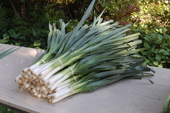scallions_bunched-575
