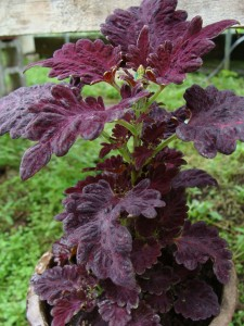 Coleus-Black-Dragon