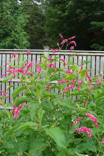Kiss Me Over The Garden Gate Polygonum