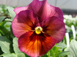 Pansy Nature Mulberry Shades