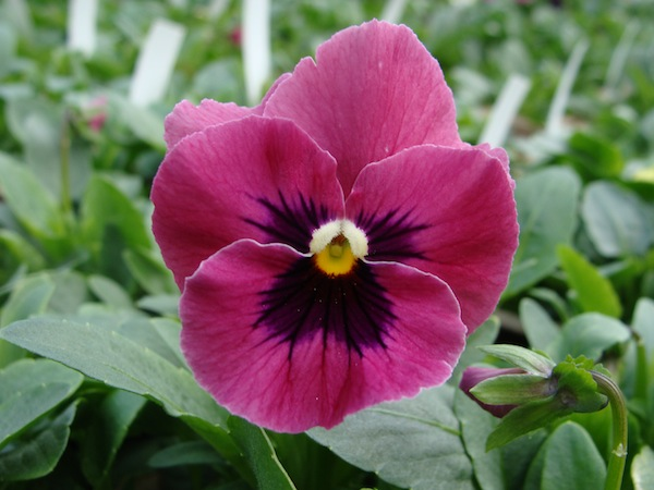 Pansy pansy nature rose pink mightylinksfo Choice Image