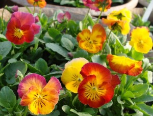 Pansy Ultima Radiance Red